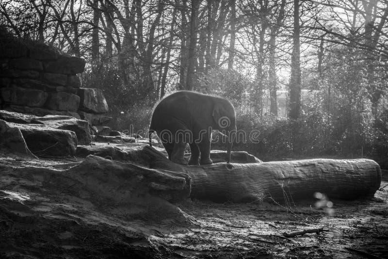 Baby elephant standing on logs stock photos