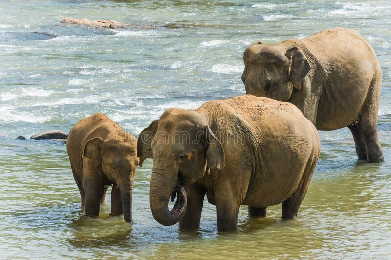 Baby elephant standing next to its mother in the water. A baby elephant standing next to its mother in the water stock images
