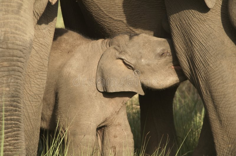 Baby Elephant Suckling royalty free stock images