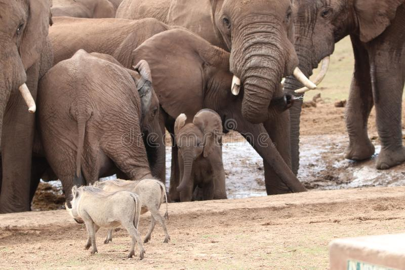 Baby elephant takes on warthogs stock images