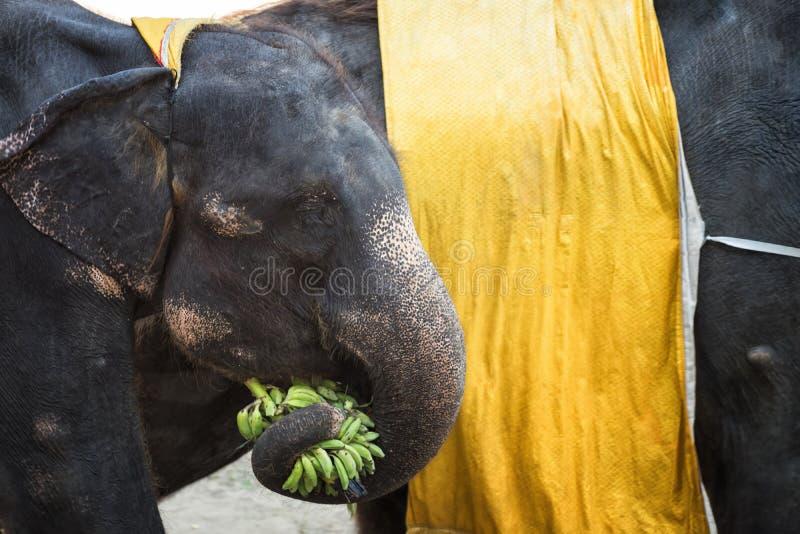 Elephant take banana with its trunk. Baby elephant taking green banana with its trunk for eating near parent. Closeup wildlife animal portrait in Samut Prakarn stock image