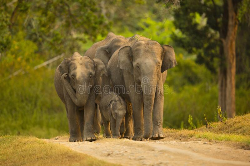 Baby elephant trying to keep up with its mom royalty free stock photography