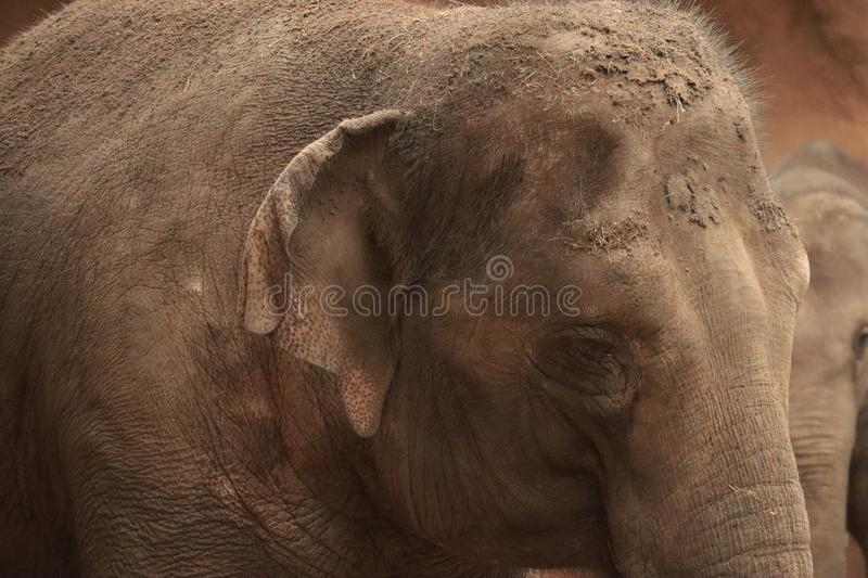 Baby elephant in the zoo, Rotterdam, Netherlands. Baby african elephant in the zoo, Rotterdam, Netherlands, natural lighting shot stock image