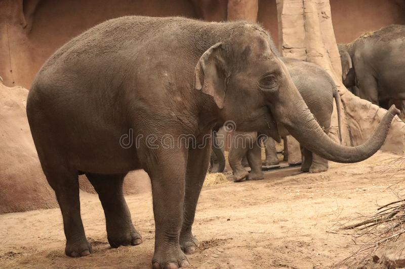 Baby elephant in the zoo, Rotterdam, Netherlands. Baby african elephant in the zoo, Rotterdam, Netherlands, natural lighting shot royalty free stock image