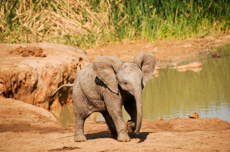 Baby elephants at Addo Elephant National Park royalty free stock images