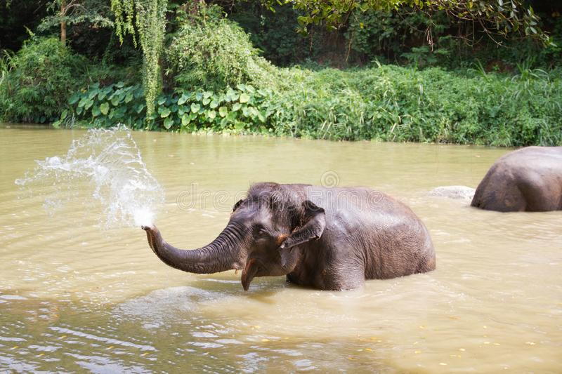 Baby elephants play in the water with fun royalty free stock image