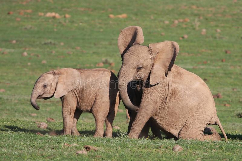 Download Baby Elephants Playing stock image. Image of rough, addo - 11386895