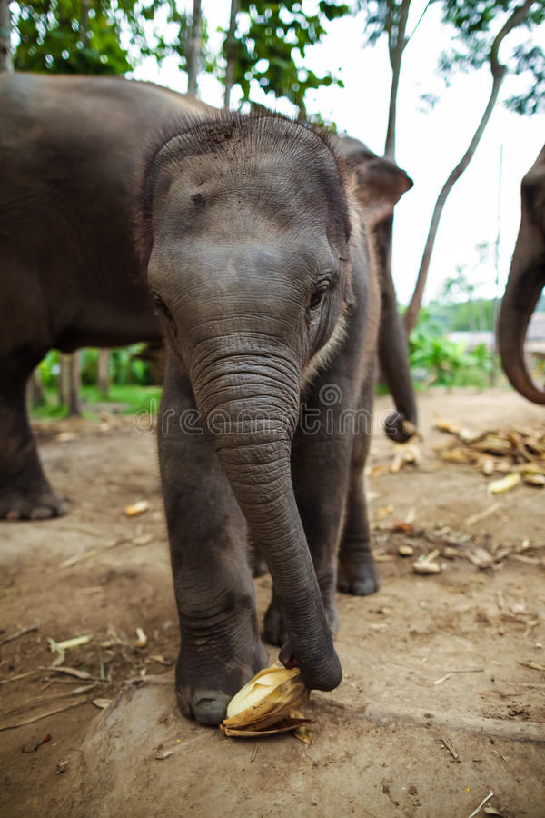 Baby elephants plays and eats corn of the ground.