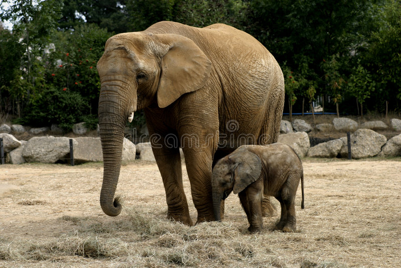 Baby Elephany Kito stock fotografie