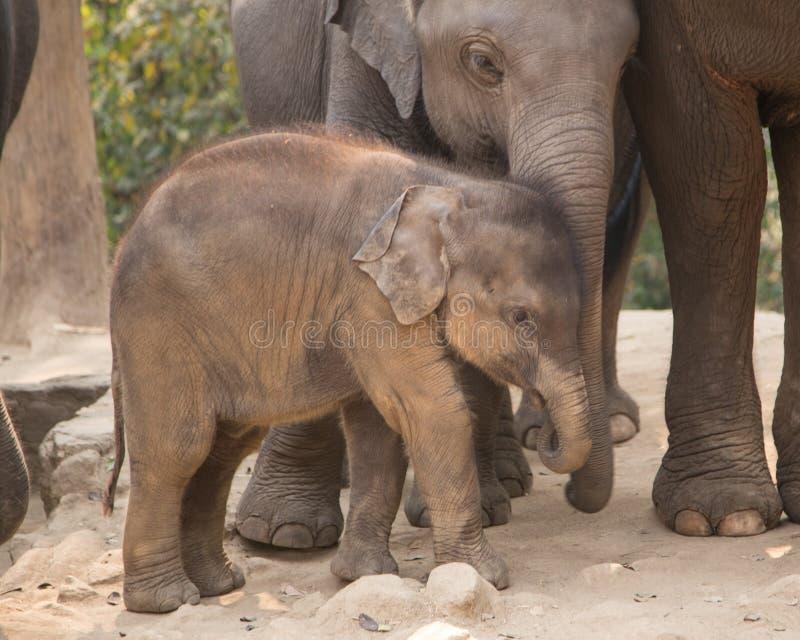 Baby elephnt lizenzfreie stockfotos