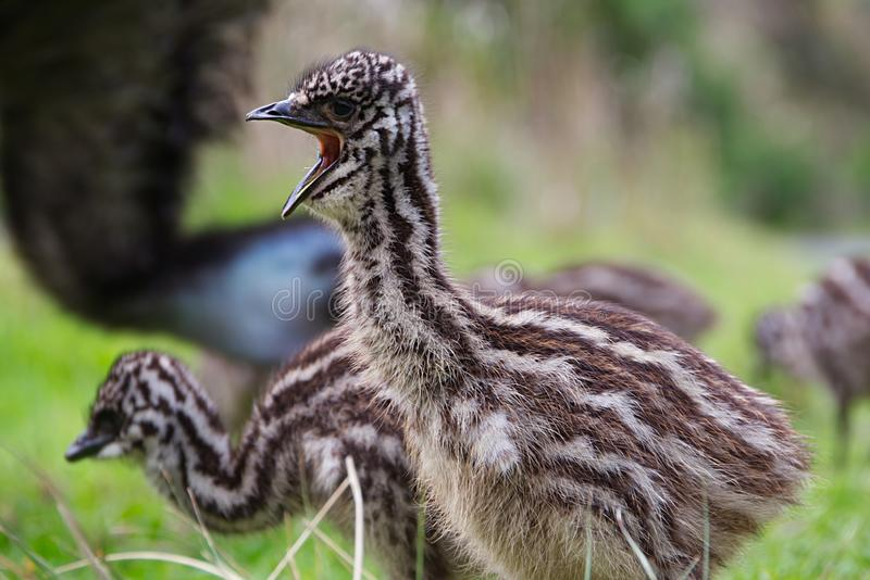 Baby Emu chick close up mouth open royalty free stock photo