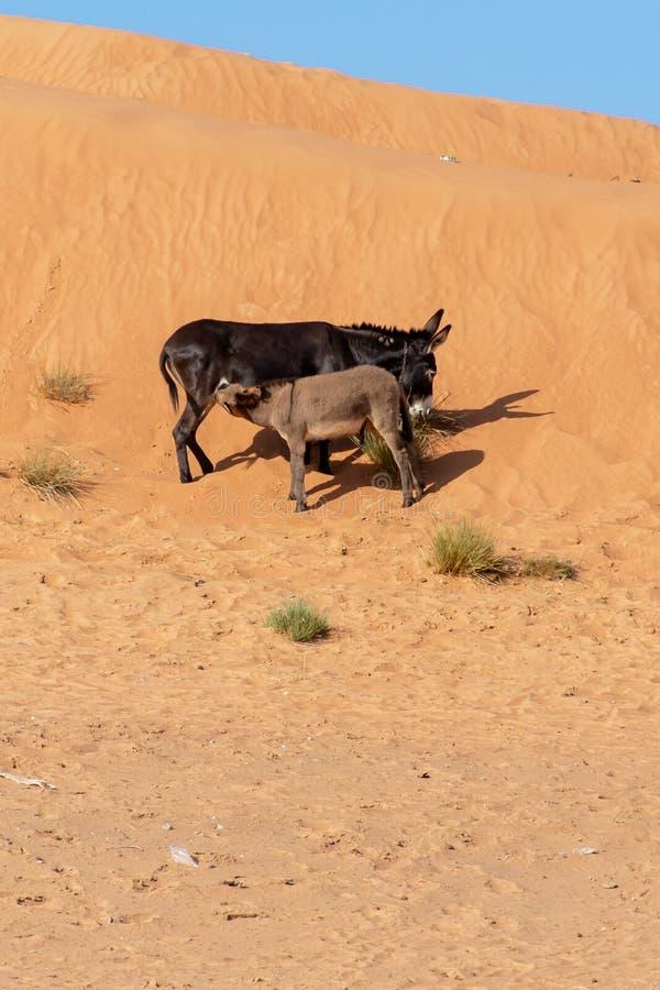 Baby-Esel, der auf eine Sanddüne einzieht stockfotografie