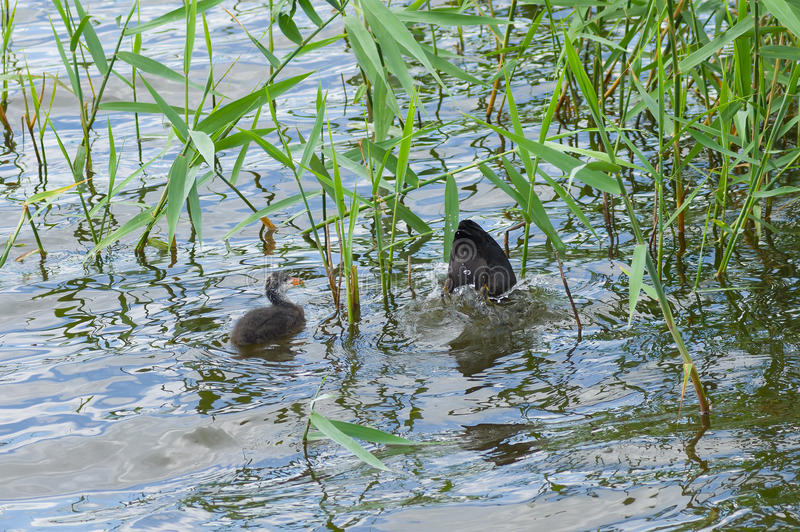Baby of eurasian coot waiting for the fish food. Baby of eurasian coot (Fulica atra) waiting for the fish food while mother is in hunting stage royalty free stock image