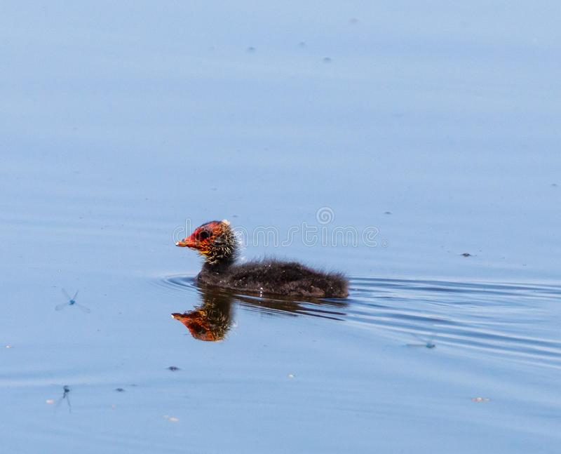 Baby eurasian coot on water stock photography