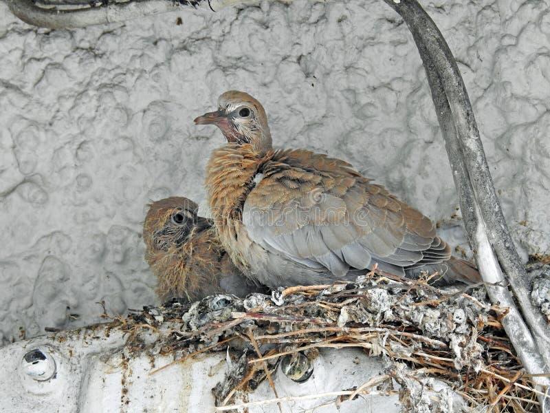 Baby försåg med krage duvor som väntar i redet för mamma royaltyfri fotografi