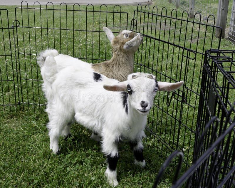 Baby Fainting Goats Stock Photos