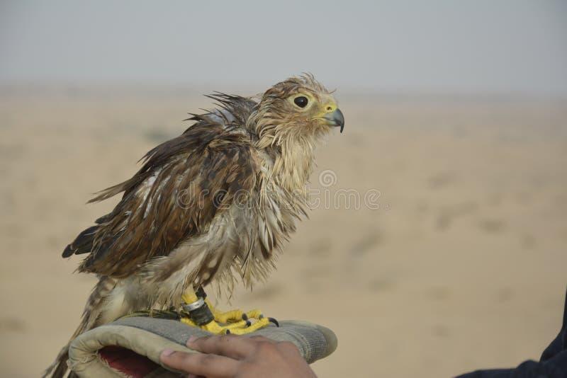 Baby Falke