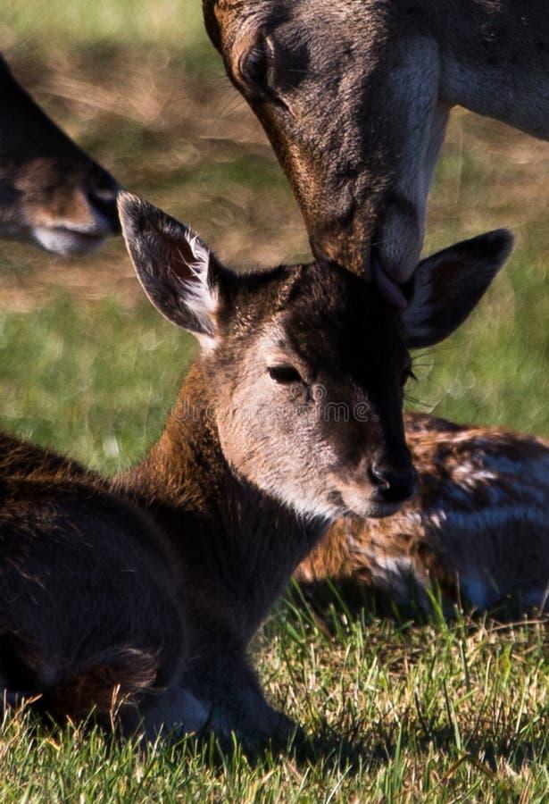 Baby Fallow Deer in Phoenix Park royalty free stock photos