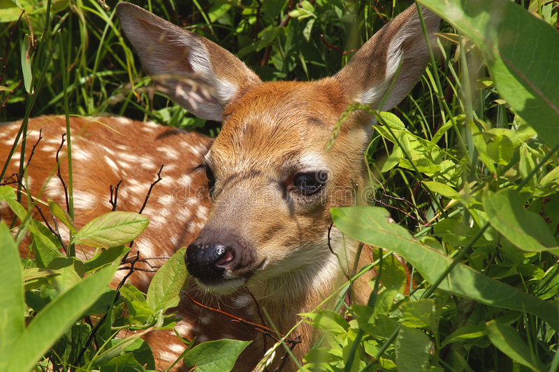 Baby Fawn In Spring Royalty Free Stock Photos