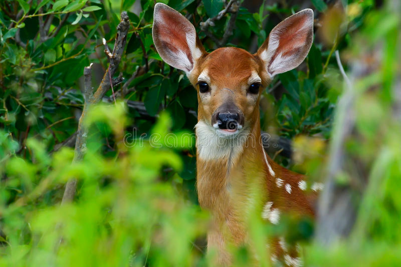 Baby Fawn White tail stock photography