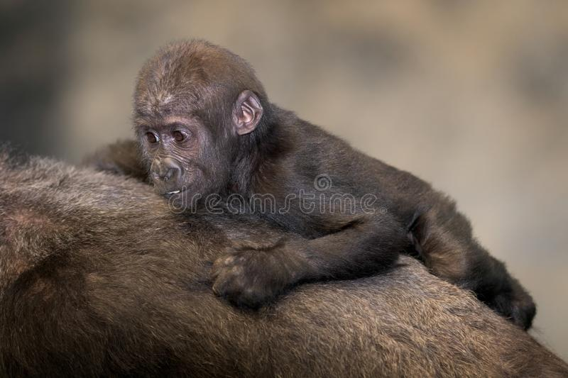 Baby gorilla on mother`s back stock images