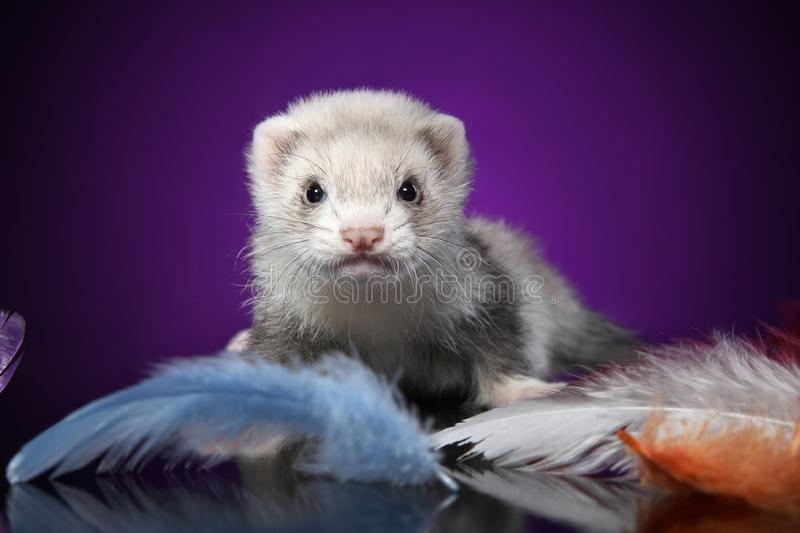 Baby Ferret portrait in colored feathers. Baby Ferret in colored feathers on a violet background. Animal theme royalty free stock photography