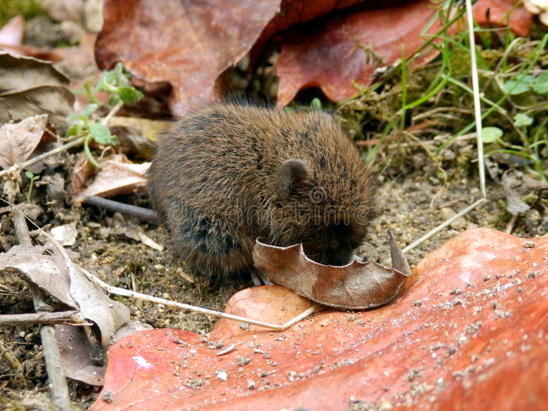 Baby Field Vole royalty free stock image
