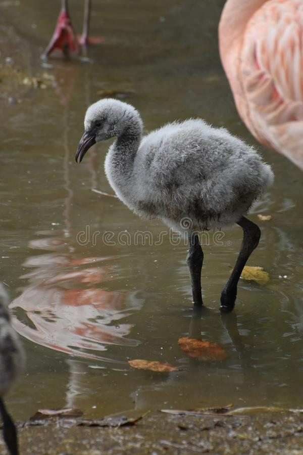Cute flamingo baby with its beak opened. Baby flamingo standing in water with its beak open a little stock photos