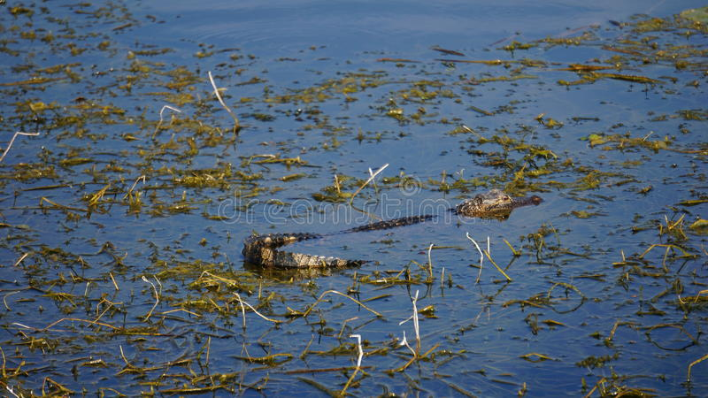 Baby Florida Gator royalty free stock photos