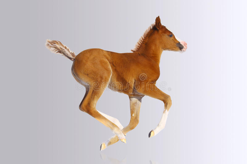 Baby Foal Stock Photography