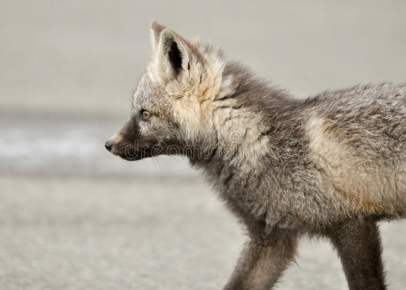 Download Baby fox stock image. Image of tail, baby, child, curious - 24508687