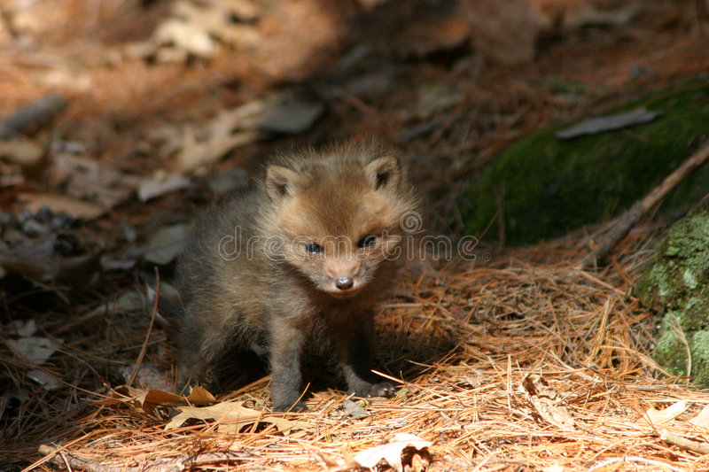 Baby fox. A baby fox in the forest royalty free stock image