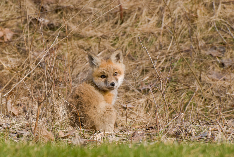 Baby Fox. Camouflage coloring of baby fox against brown grasses stock photo