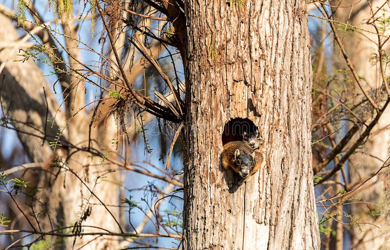 Baby Fox squirrel kit Sciurus niger peers over the top of its mother in the nest. Made from the hole in a tree in Naples, Florida stock photography