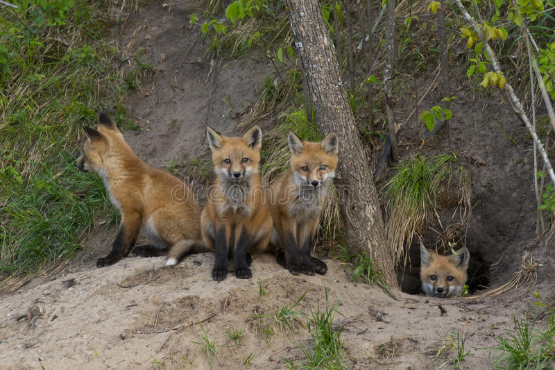 Baby Foxes stock photos