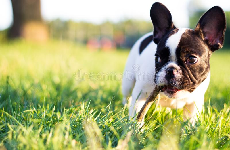 Baby French Bulldog dog -. Baby French Bulldog dog. Nature. In the park stock images
