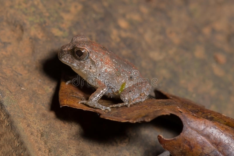 A baby frog royalty free stock photos