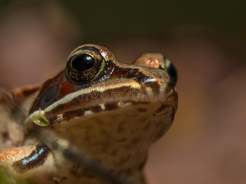Baby frog royalty free stock images