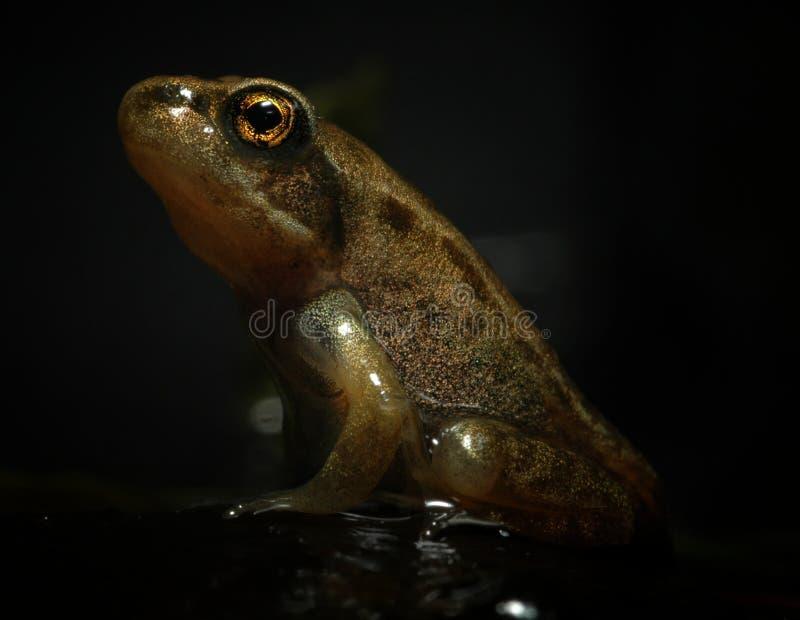 Baby frog (Rana temporaria) stock image