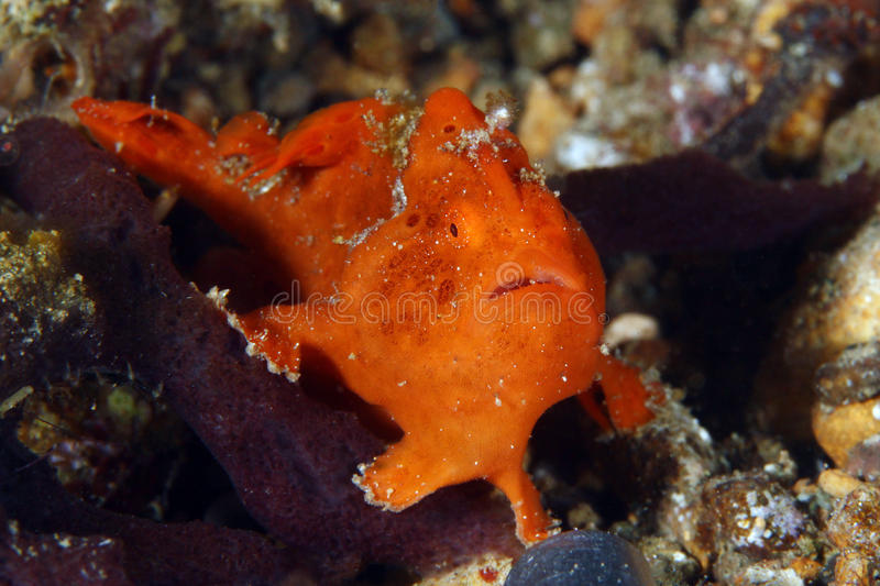Baby frogfish stock foto's