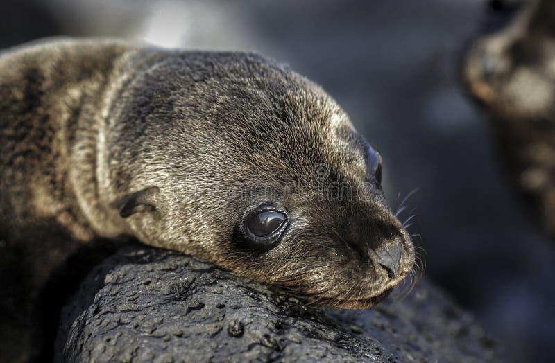 Baby-Galapagos-Seelöwe Zalophus wollebaeki, das auf Felsen ein Sonnenbad nimmt stockbild