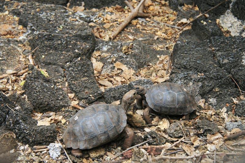 Download Baby Galapagos Tortoises stock photo. Image of animal - 27685252