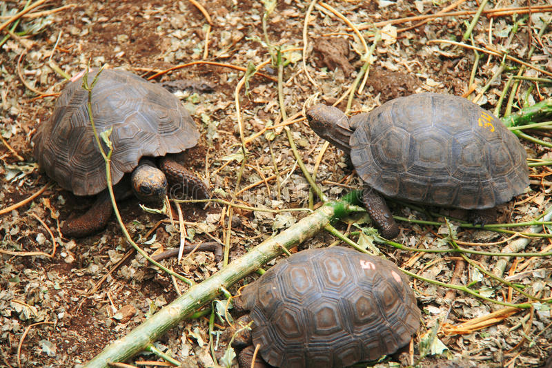 Download Baby Galapagos Tortoises stock photo. Image of america - 27685302