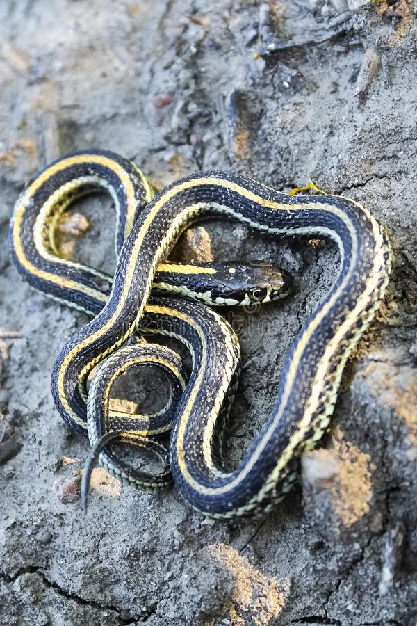 A baby garter snake coiling in a defensive position.  stock image