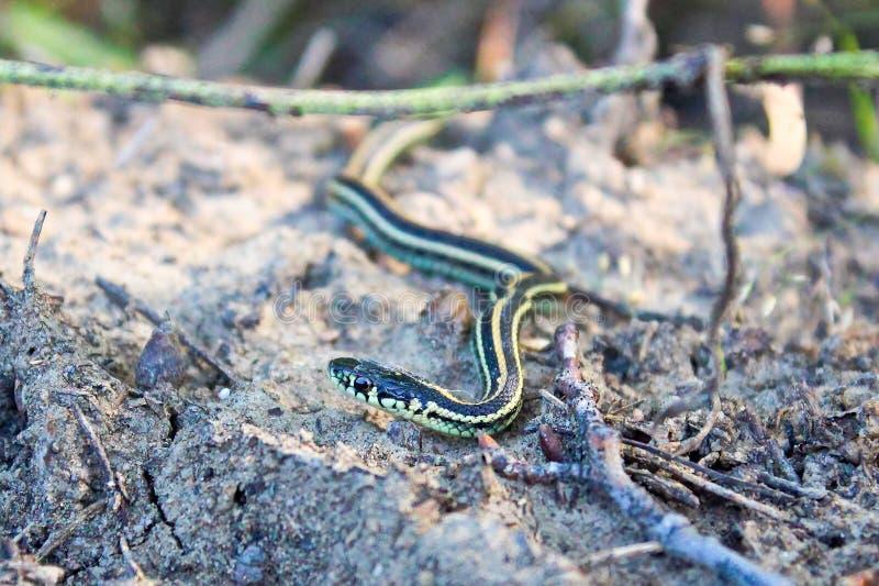 A baby garter snake crawls on sandy ground.  stock photos