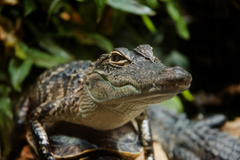 Baby Gator Royalty Free Stock Photography