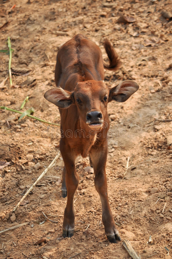 Baby Gaur Stock Photo