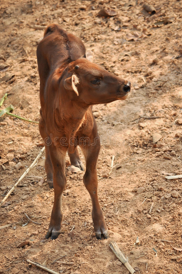 Download Baby gaur stock image. Image of jungle, mammal, oriental - 30802719