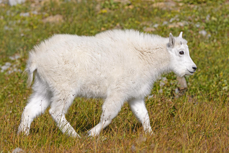 Baby-Gebirgsziege in einer Alpenwiese stockbild