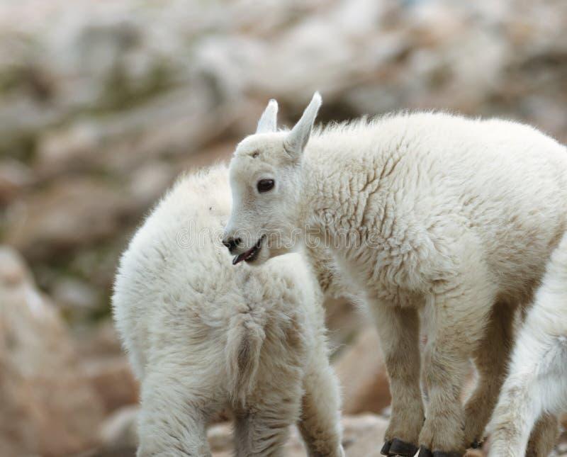 Baby-Gebirgsziegen auf Berg Evans lizenzfreie stockfotografie